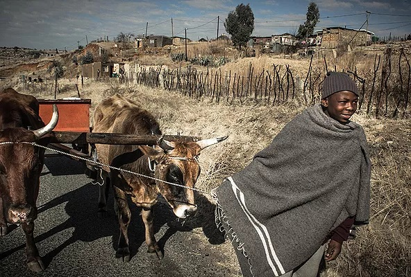 A sotho kid from Lesotho pulls an ox cart towards town.