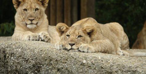 Lions Introduced to Tshabalala Wildlife Sanctuary